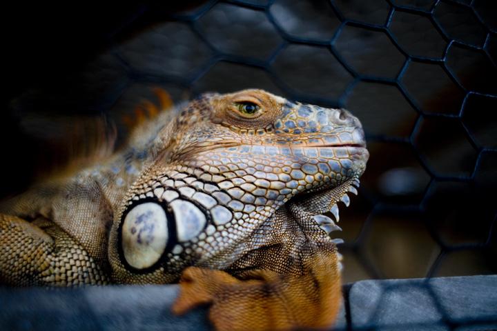 iguana_01_lres