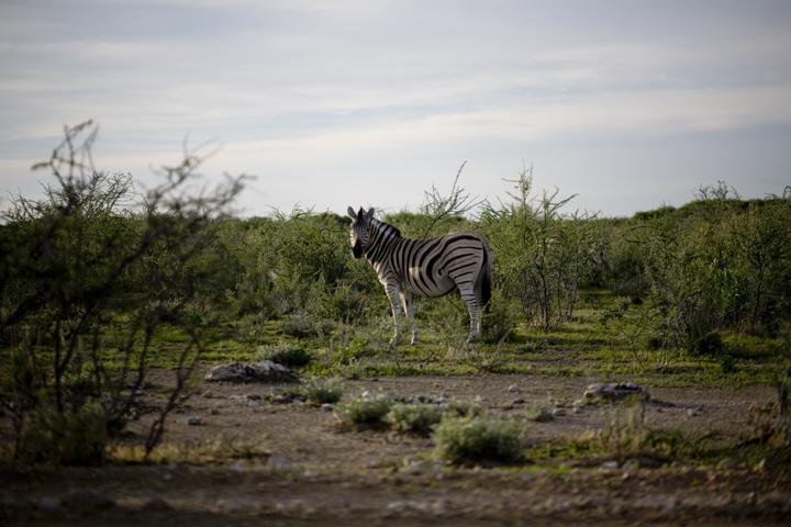 zebra01_lres
